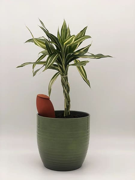 une olla XS enterrée dans un pot vert foncé, avec une plante à feuilles vertes
