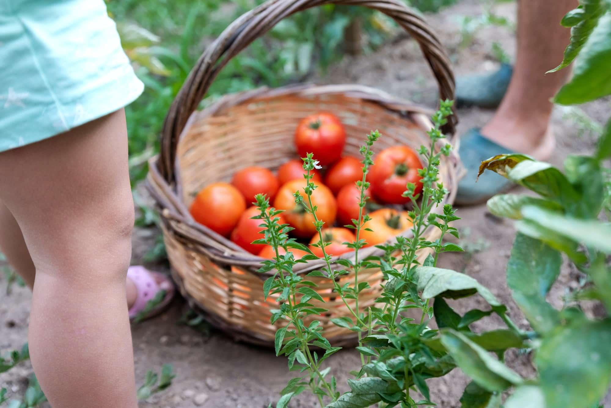 arroser ses légumes avec des oyas