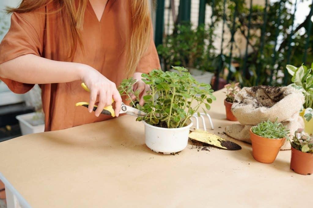 Woman cutting mint stems