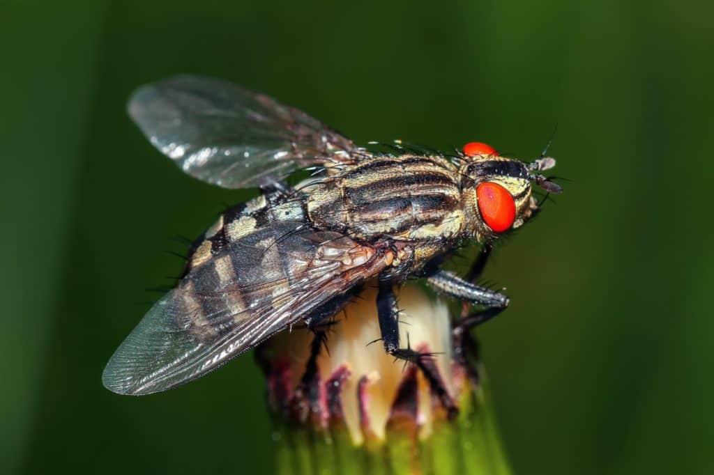 gros plan sur une mouche domestique