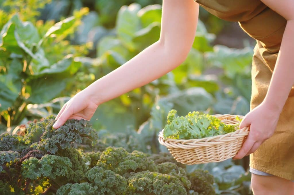 femme cueille de la salade dans son potager