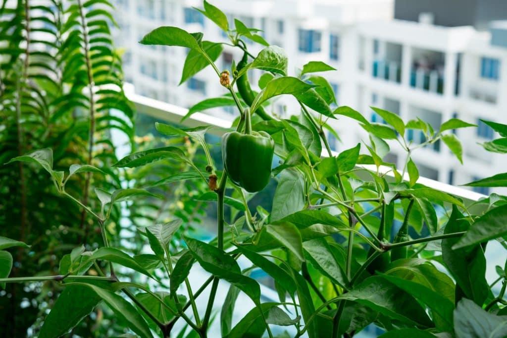 un poivron pousse sur un balcon