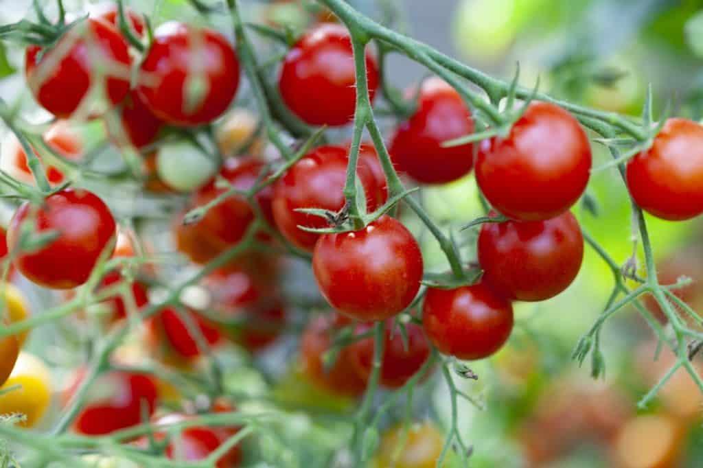 tomates cerise sur la branche