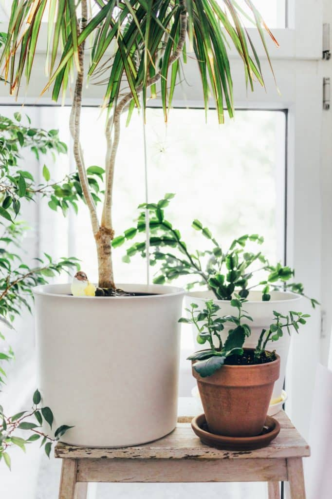 arbuste dans un pot