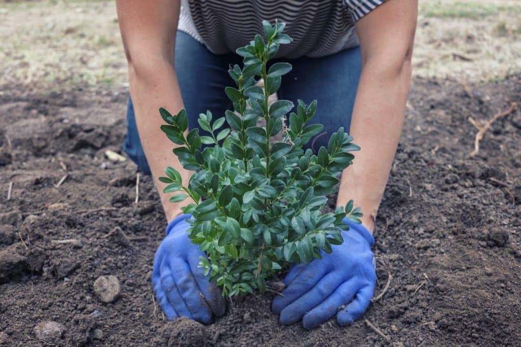 homme plante un arbuste