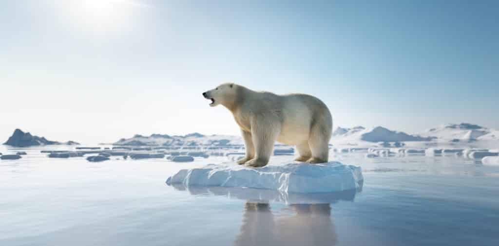 ours polaire sur la banquise en train de fondre à cause du réchauffement climatique