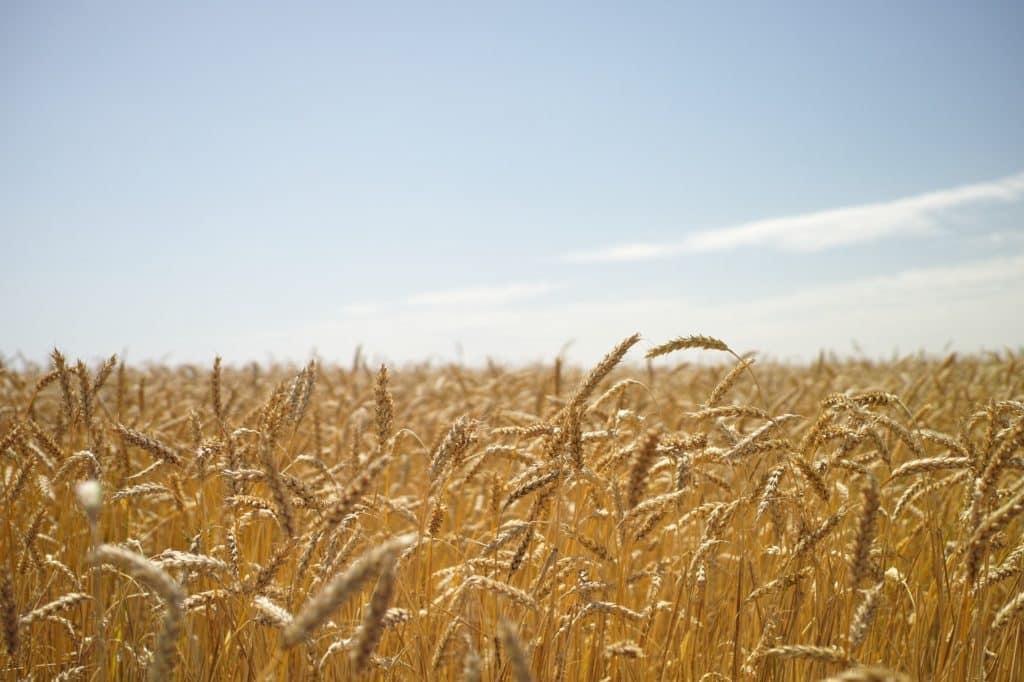 champ de blé agriculture